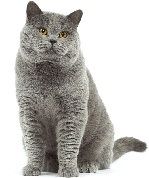 harga kucing british shorthair