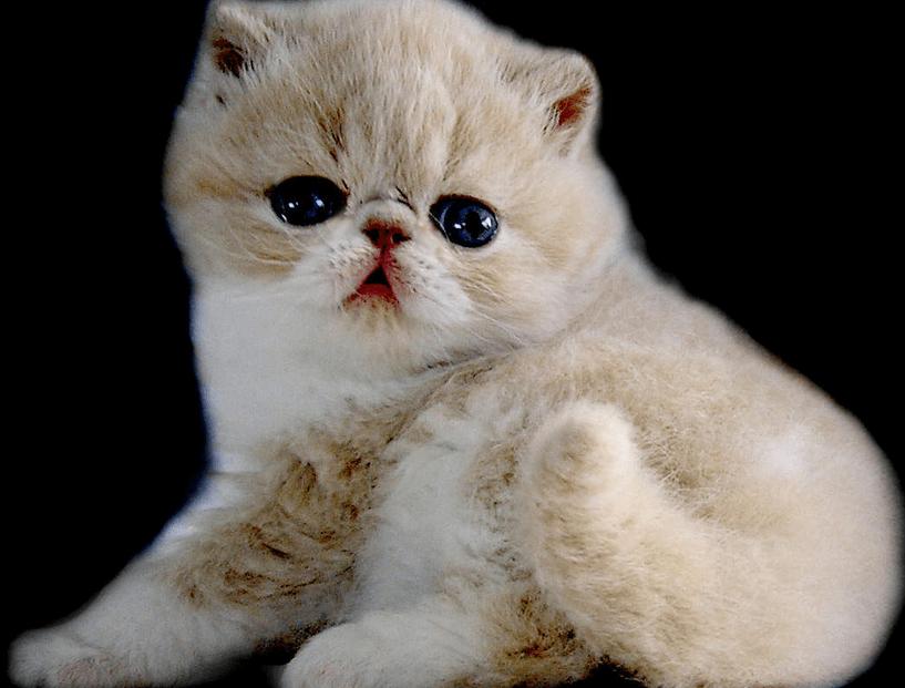 harga kucing flatnose