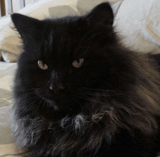 harga kucing persia himalaya hitam
