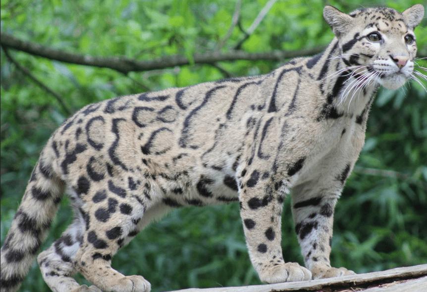 harga kucing hutan murah