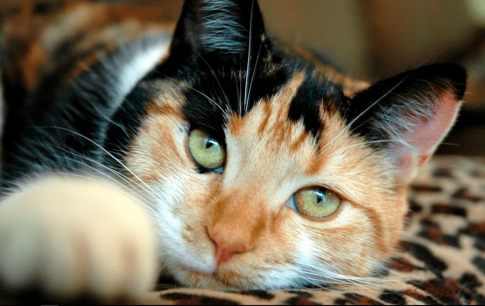 harga kucing calico