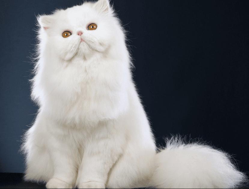 harga kucing peaknose