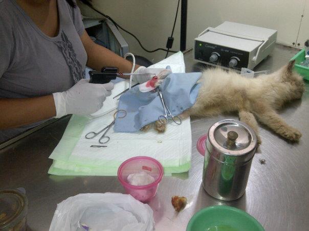 masalah kesehatan kucing persia