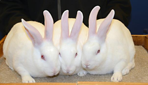 kelinci imut