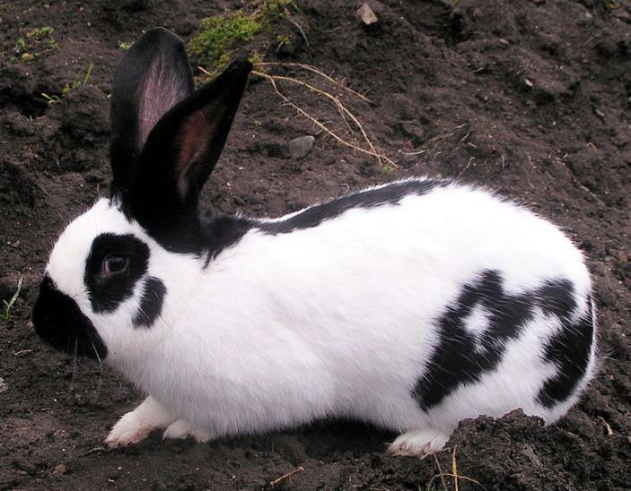 Kelinci Checkered Giant Rabbit