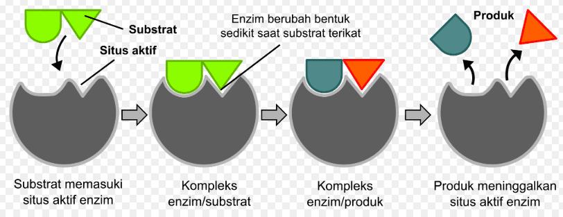 Peran Enzim Dalam Metabolisme